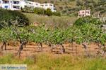 Pistache bomen Aegina | Marathonas | De Griekse Gids 1 - Foto van De Griekse Gids