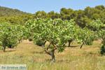 Pistache bomen bij Palaiochora   Aegina   De Griekse Gids foto 1 - Foto van De Griekse Gids